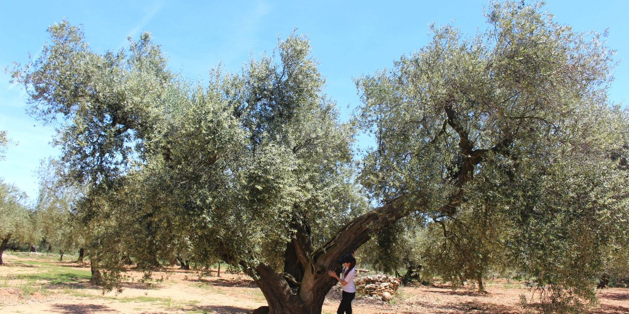 The Millenary Olive Trees Route in Canet lo Roig