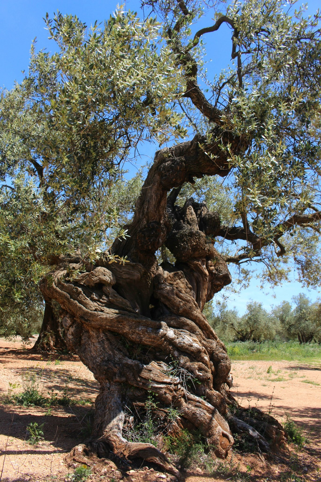 Millenary Olive Trees in Canet lo Roig, Castellon, Spain