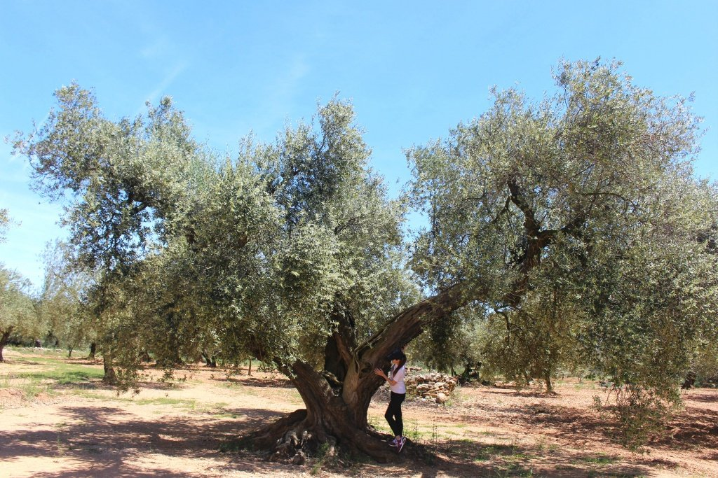 The Millenary Olive Trees Route in Spain