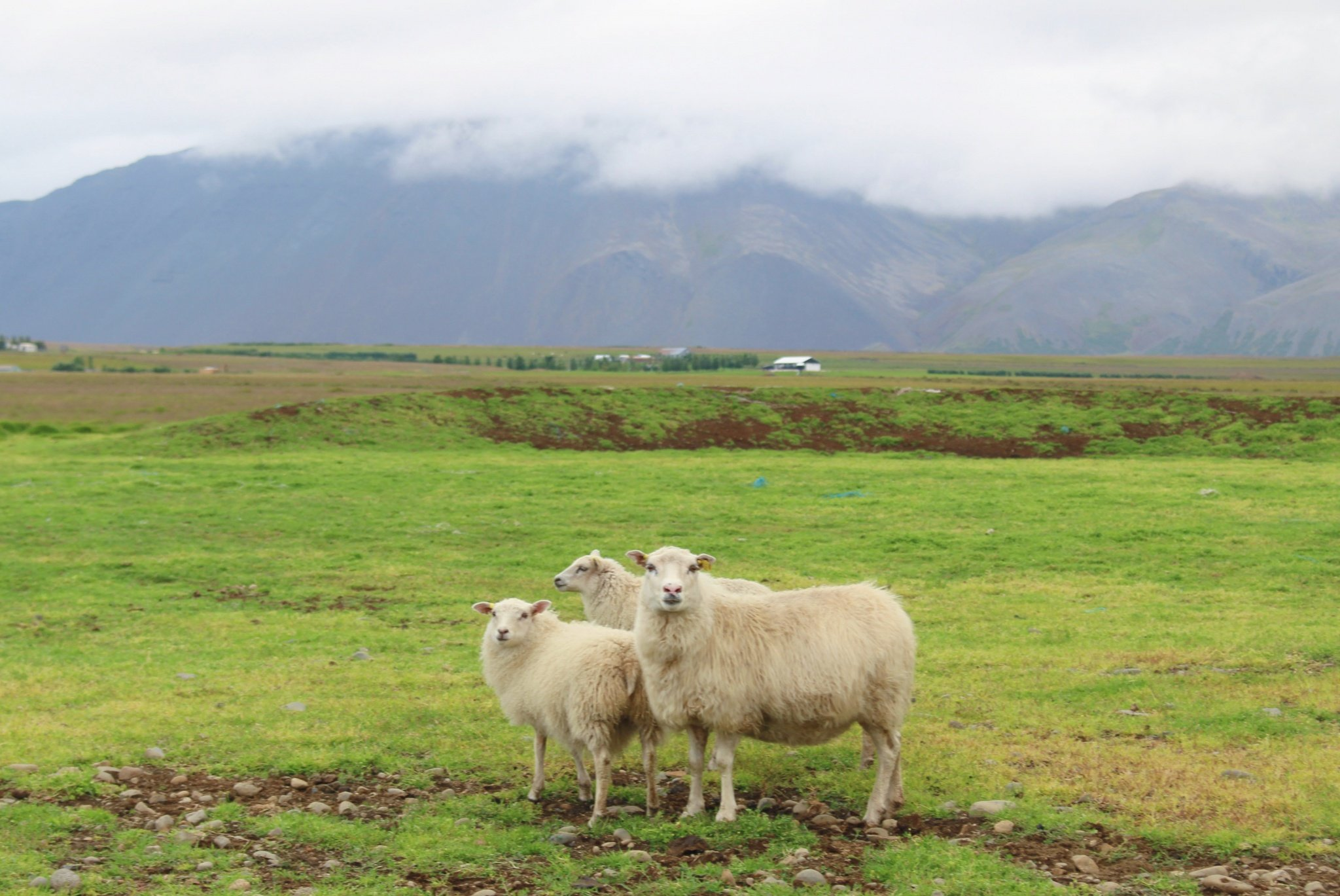 sheep in Iceland
