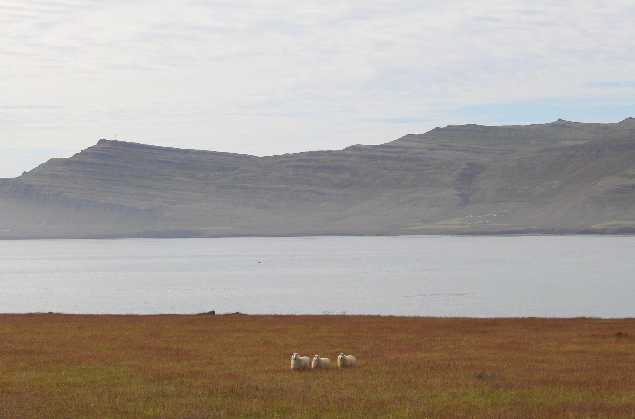 Landscape with Icelandic sheep