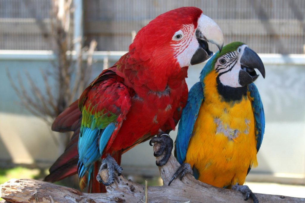 Scarlet Macaw and Blue-and-yellow macaw at Jardin del Papagayo in Benicarlo, Spain