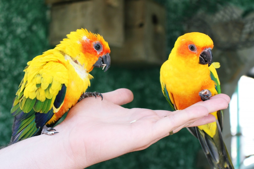 Two sun conures at Jardin del Papagayo in Benicarlo, Spain