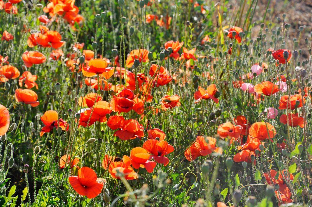 Poppy Fields in Spain