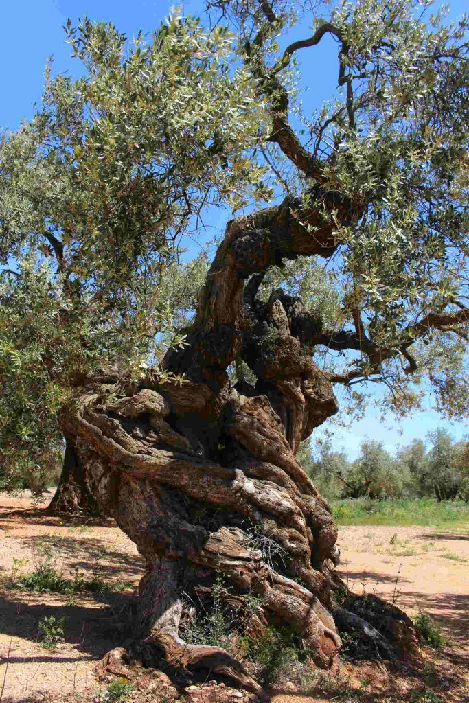 The Millenary Olive Trees Route in Spain - Pinterest